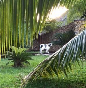 vache palmier 800-2